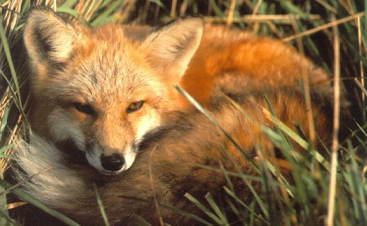 Le renard voleur d'iPhone qui envoyait des SMS